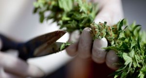 A worker trims cannabis at the growing facility